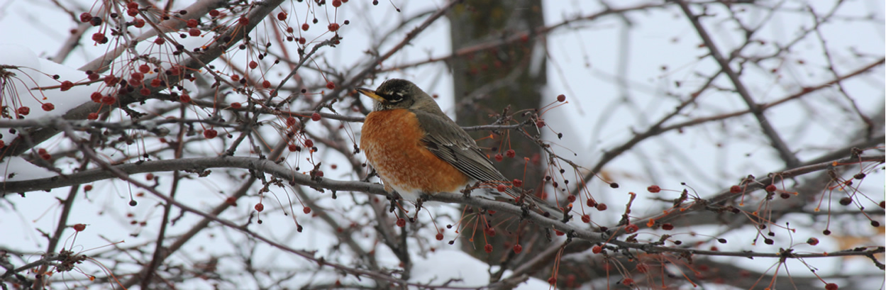 robin in icy tree
